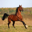 Bay arabian horse running on the field - Stock Photo