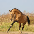 Light-dun akhalteke horse — Stock Photo