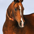 Dun akhalteke horse portrait — Stock Photo