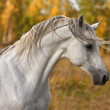 Arabian horse portrait — Stock Photo