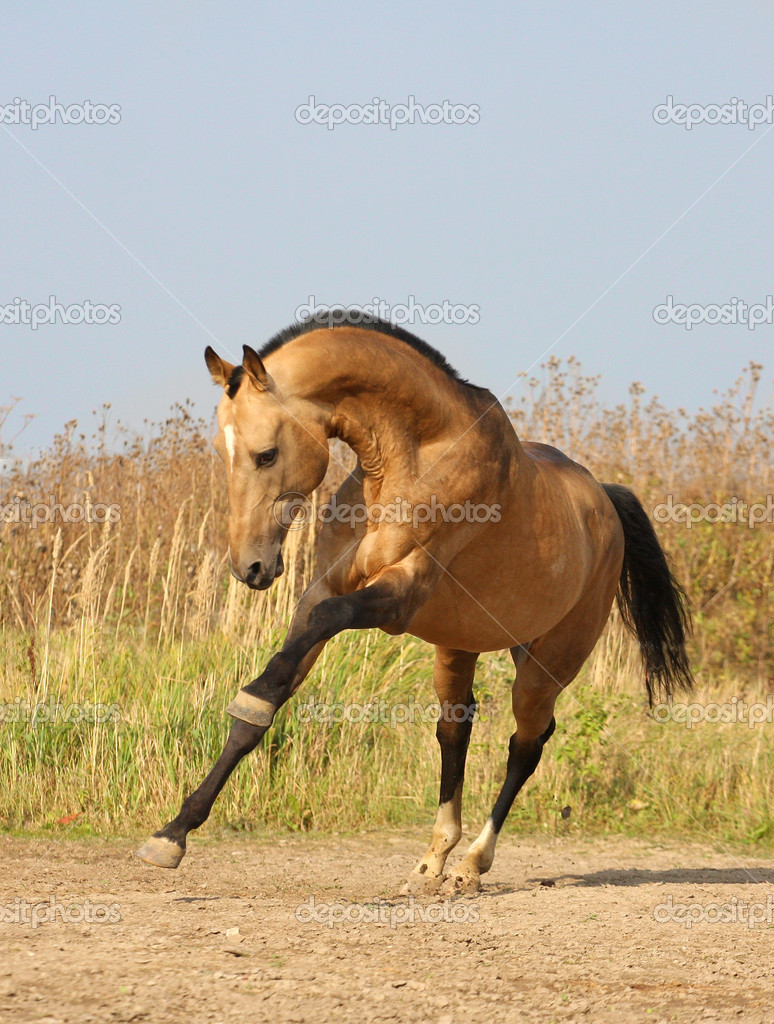 Light-dun akhalteke horse  running от the field — Stock Photo #1762616