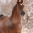 Chestnut arabian horse portrait — Stock Photo