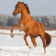 Golden horse rearing on winter field — Stock Photo