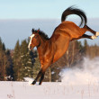 Bay horse playing  in the snow field — Stock Photo