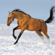 Golden akhalteke stallion running — Stock Photo