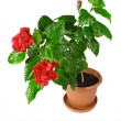 Stock Photo: Chinese hibiscus