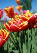 Тюльпаны — Stock Photo