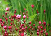 Почти распустившиеся цветы — Stock Photo
