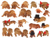 Many dachshund puppies — Stock Photo