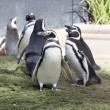 Humboldt Penguin's — Stock Photo #1974982