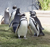 Humboldt Penguin's — Stock Photo