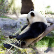 Stock Photo: Pandbaby Bear