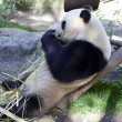 Panda baby Bear - Stock Photo