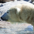 Polar Bear — Stock Photo #2631908