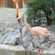 Stock Photo: Two flamingo