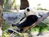 Panda baby Bear — Stock Photo