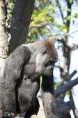 Beautiful Gorilla — Stock Photo