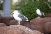 Seagull's — Stock Photo