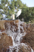 Snowy white egret — Stock Photo