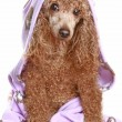 Stock Photo: Poodle after a bath