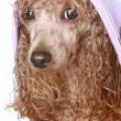 Stock Photo: Apricot poodle after a bath