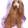 Stock Photo: Dog after bath