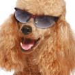 Stock Photo: Apricot poodle puppy in sun glasses