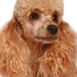 Small apricot poodle — Stock Photo
