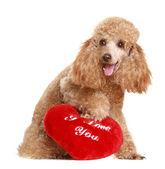 Apricot poodle with valentine gift — Stock Photo