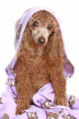 Poodle after a bath — Stock Photo