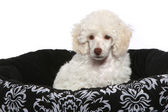 White poodle puppy — Stock Photo