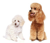 Toy and small poodle — Stock Photo