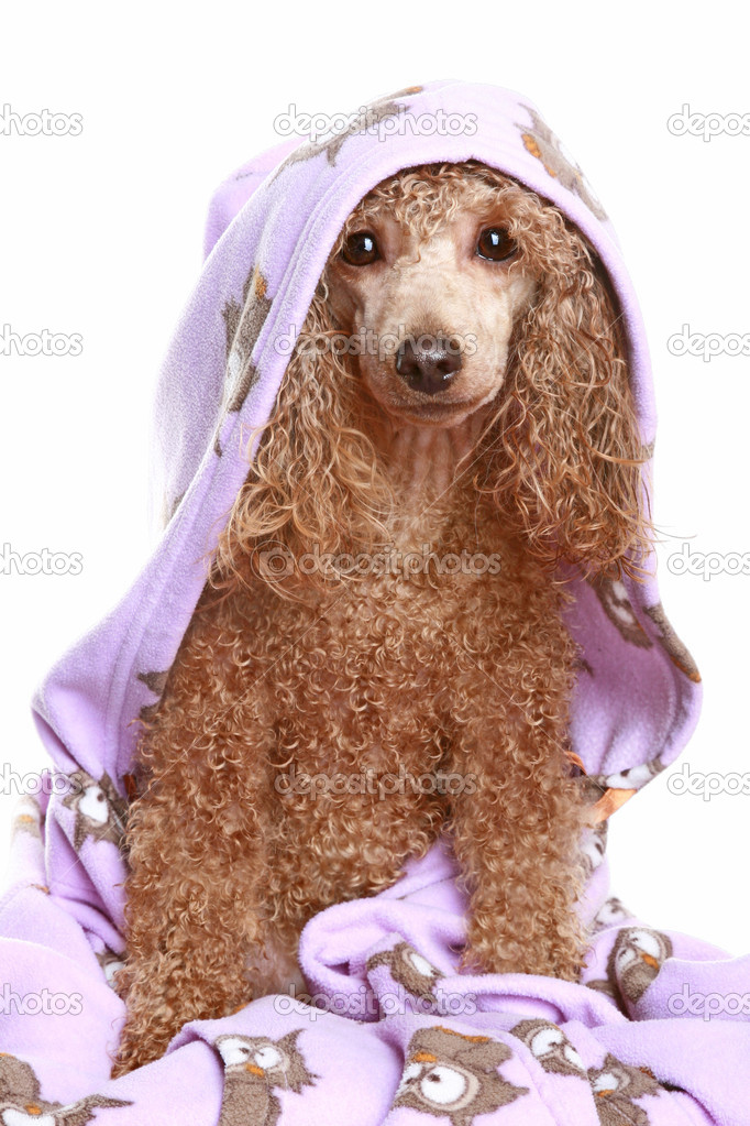 Apricot poodle after a bath, isolated on white background — Stock Photo #1756968