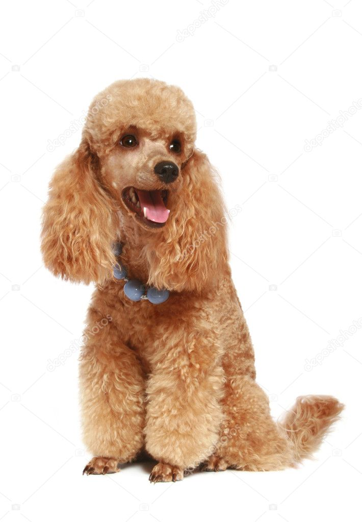 Apricot poodle puppy. isolated on white background — Stock Photo #1757298