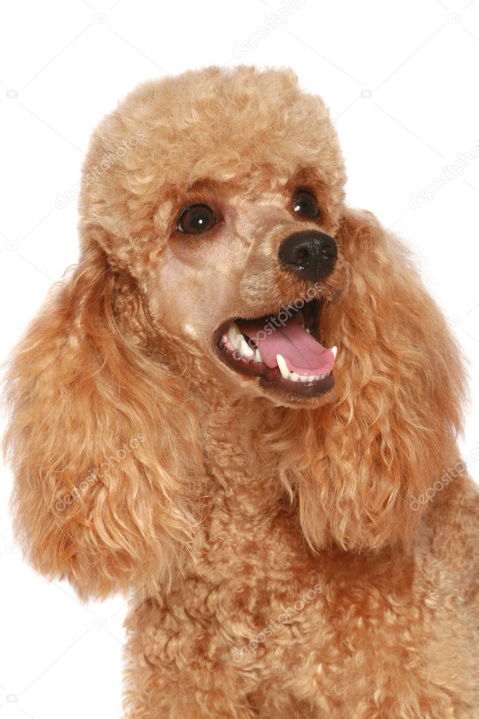 Close-up, apricot poodle puppy. isolated on white background — Stock Photo #1757313
