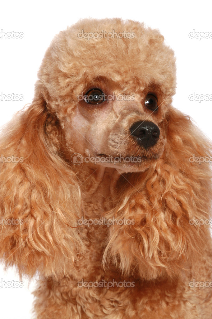 Small apricot poodle, isolated on white background  Stock Photo #1757473