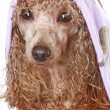 Royalty-Free Stock Photo: Apricot poodle after a bath