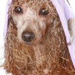 Apricot poodle after a bath - Stock Photo