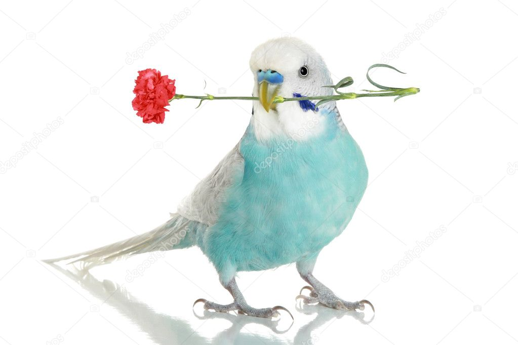 Blue budgie with a red carnation in a beak. isolated on white background with reflection  Stock Photo #1988888