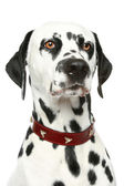 Dalmatian puppy portrait — Stock Photo