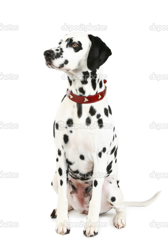 Dalmatian puppy in front of a white background  Stock Photo #2213934
