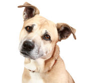 Staffordshire terrier dog — Stock Photo