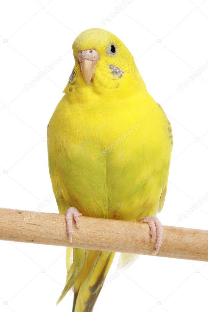 Yellow budgie on branc...