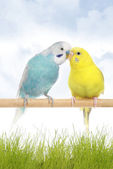 A pair of budgerigars — Stockfoto