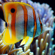 Stock Photo: Six Spine Copper Band Butterfly Fish