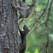 Two Squirrels — Stock Photo #1712285