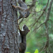 Two Squirrels - Stock Photo