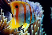 Six Spine Copper Band Butterfly Fish — Stock Photo