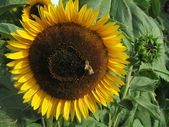 Honey Bees on a Sunflower — Stock Photo