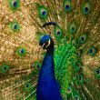 Peacock — Stock Photo #1725844